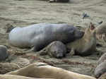 A dominant male northern elephant seal attempts to copulate with a female.  Photo by Derek Roff, courtesy Princeton Univ. Press.
