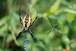A mature female Argiope aurantia (left) hanging at the hub of her orb web, with a mature male (right). Photo by Troy Bartlett, www.naturecloseups.com, courtesy Princeton Univ Press.