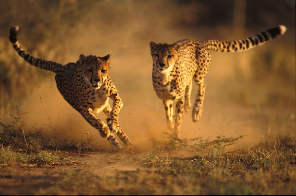 Two cheetahs running